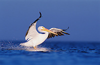 American White Pelican, Pelecanus erythrorhynchos, adult in flight landing, Rockport, Texas, USA, December 2003