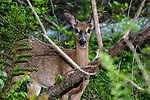 White-tailed deer buck with new growth anters full view facing left in the Wompatuck State Park, Hingham, Massachusetts.