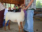 Sheep waiting at sheep show at Cheshire Fair in Swanzey, New Hampshire USA