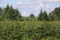GERMANY, lower saxonia, Forest / DEUTSCHLAND, Niedersachsen, Wald, Tannen Anpflanzung