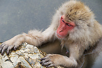 A Japanese macaque, often called a snow monkey, relaxes in the hot springs during winter, Nagano, Japan.