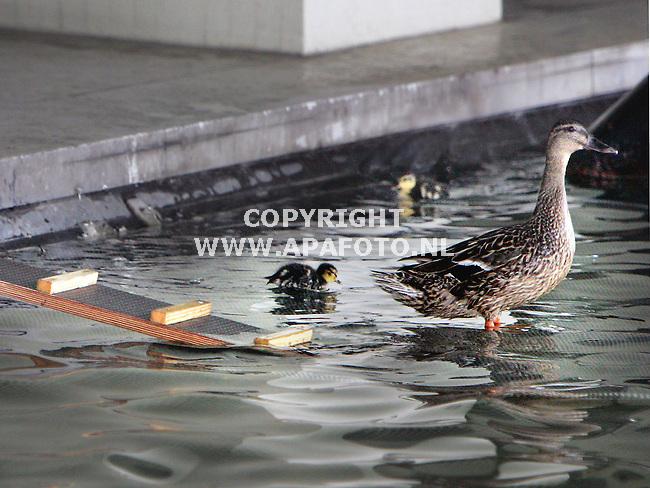 Arnhem, 290605<br /> Een moedereend en vier jongen heeft de stadsvijver bij het stadshuis in Arnhem uitgekozen om haar kroost groot te brengen. De dienst stadsbeheer heeft een loopplankje gemaakt, zodat de kleintjes makkelijker de vijver uit kunnen en is gestopt met het toevoegen van bleeklog aan het water. Dat heeft als nadeel dat dat nu groen wordt. <br /> Foto; Sjef Prins - APA Foto