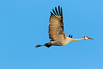 Sandhill crane flying over Crex Meadows in northwest Wisconsin.