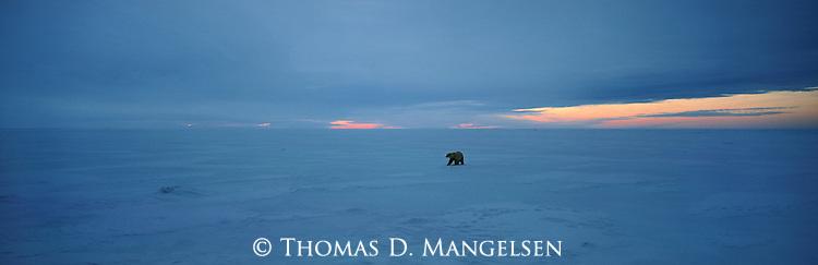 A lone polar bear on the ice of Hudson Bay, Churchill, Manitoba, Canada.