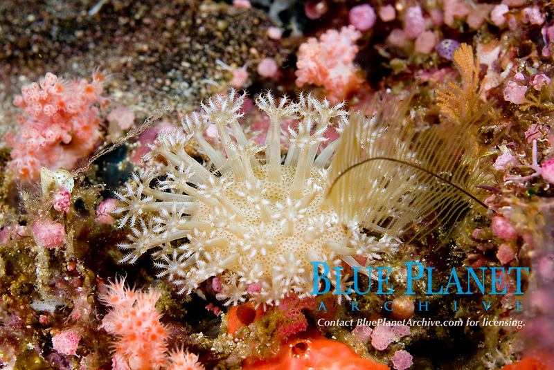 Soft coral, Sarcophyton sp. Raja Ampat, West Papua, Indonesia, Pacific Ocean