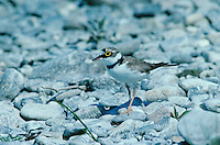 Little Ringed Plover, Charadrius dubius, female, Scrivia River, Italy, June 1993