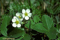 ST03-003b  Strawberry flowers