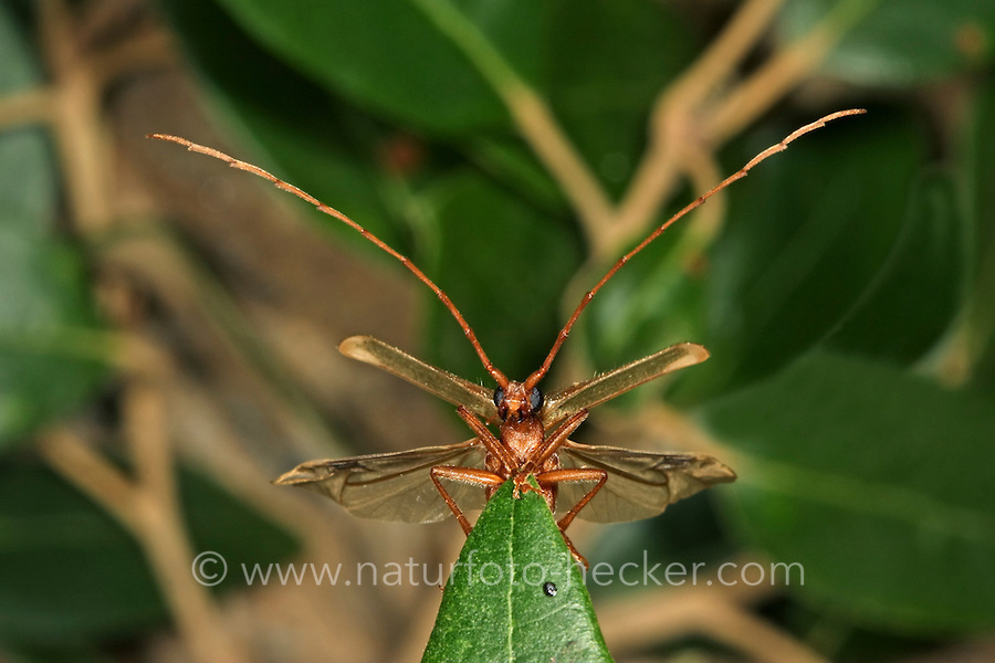 Holzbock, Bockkäfer, Männchen, Vesperus luridus, Longhorn beetle, male, Vesperidae