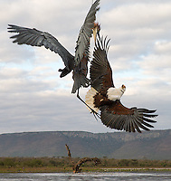 A Goliath heron and African fish eagle battle to see who is king of the watering hole.