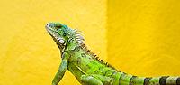 Green iguana, Iguana iguana, Bonaire, Netherland Antilles, Caribbean Sea, Atlantic Ocean