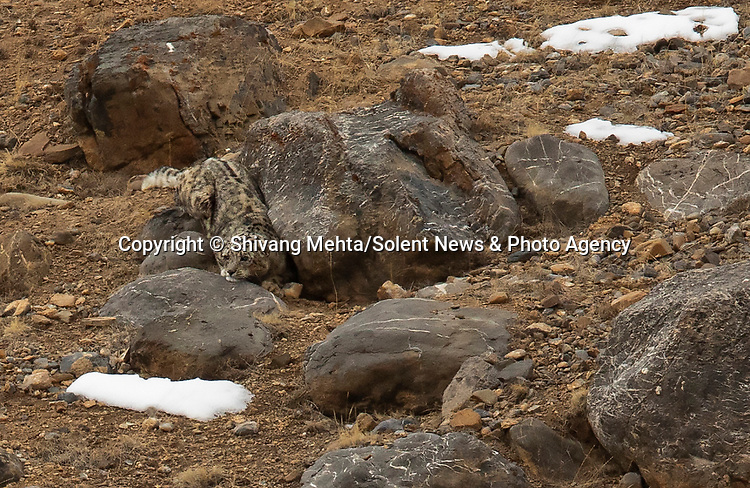 Pictured:  Spot the snow leopard...<br /> <br /> The predator is so camouflaged against a rock while watching its prey it is almost impossible to see.<br /> <br /> A closer inspection of these photographs reveals how perfectly the big cat blended into the rocky terrain while waiting for the blue sheep, also known as bharal.  SEE OUR COPY FOR FULL DETAILS.<br /> <br /> <br /> Please byline: Shivang Mehta/Solent News<br /> <br /> © Shivang Mehta/Solent News & Photo Agency<br /> UK +44 (0) 2380 458800