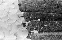 Stair and vines in infrared, Vasskalven, Norway.<br /> <br /> Nikon F3HP, 24mm lens, Kodak High Speed Infrared film, red filter