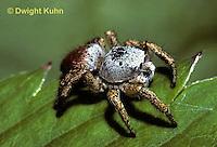 SI15-017b  Jumping Spider - Phidippus sp.