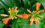 Clivia, Amaryllidaceae, Kaffir Lily, Cypress Garden, Mill Valley, California
