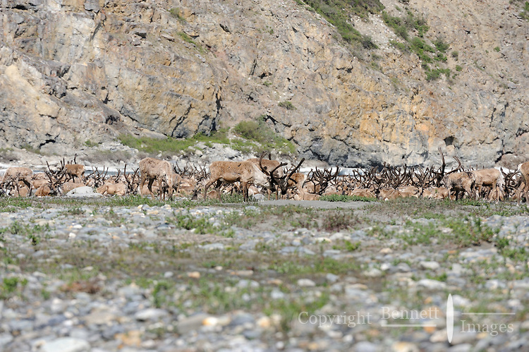 A herd of caribou rests on a gravel bar in the Hulahula River Canyon on a summer day in Alaska's Arctic National Wildlife Refuge.