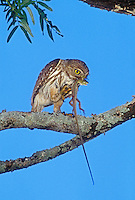 Ferruginous Pygmy-Owl, Glaucidium brasilianum, adult eating on lizard, Willacy County, Rio Grande Valley, Texas, USA