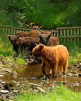 Highland cattle in a stream, Slaidburn, Lancashire.