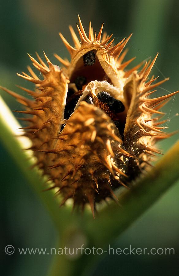 Gewöhnlicher Weißer Stechapfel, Stech-Apfel, Frucht mit Samen, Datura stramonium, Thorn Apple, Thornapple