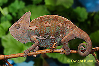 CH39-533z  Male Veiled Chameleon in display colors, Chamaeleo calyptratus