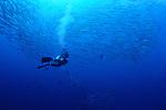 A photographer and schooling chevron barracuda, Sphyraena qenie, Tifore Island, Spice Islands, Maluku Region, Halmahera, Indonesia, Pacific Ocean