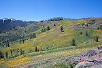 Fields of Balsamroot, Arnica, and Goldeneye paint the Yellowstone mountainsides near Dunraven Pass yellow in late July.  Grand Loop Road, Yellowstone National Park, blanketed in wildflowers in late July.