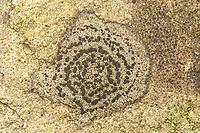Concentric Boulder Lichen (Porpidia crustulata)