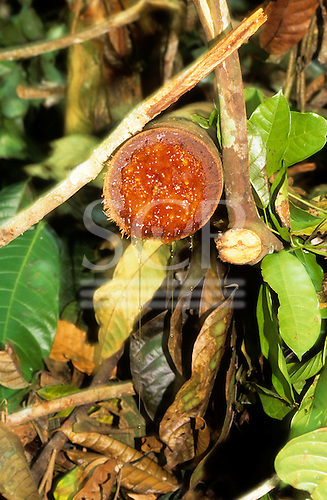 Amazon, Brazil. A freshly cut severed branch, showing the rich amber sap weeping out.