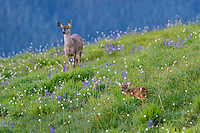 Columbian black-tailed deer (Odocoileus hemionus columbianus) doe and fawn in subalpine meadow covered with lupine and bistort wildflowers.  Pacific Northwest.  Summer.
