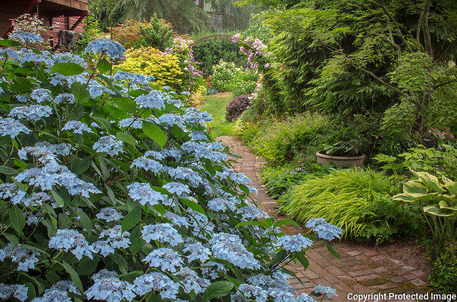 "Vashon Island, Washington: Summer perennial shade garden with 'Blue Deckle"" hyddrangea blooming near brick pathway"