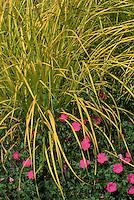 Geranium sanguineum 'John Elsey' , golden sedge Carex elata 'Aurea'  ('Bowles Golden') GR4129