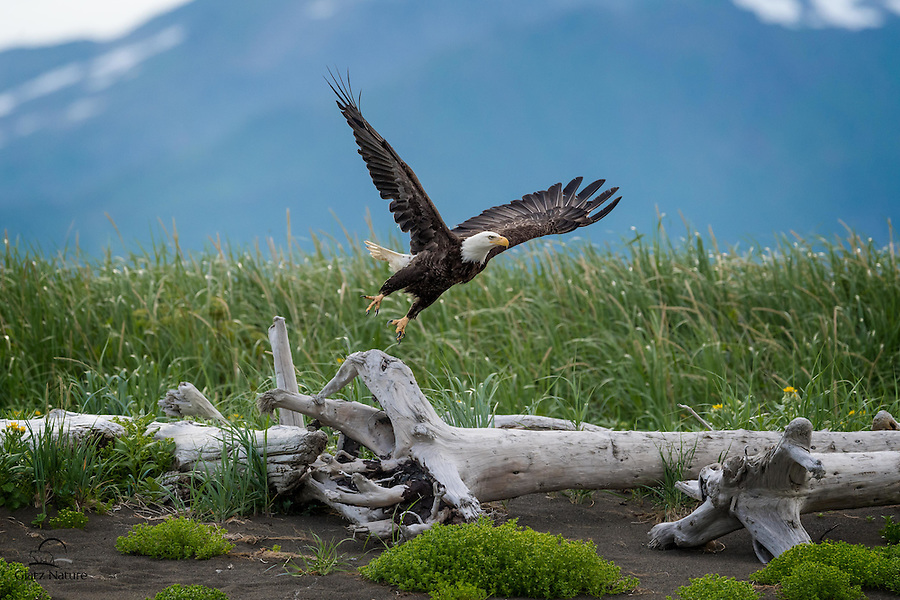 Bald Eagle (Haliaeetus leucocephalus) takes flight to challenge another eagle who had ventured into her and her mate's territory.  This eagle was vocalizing for several minutes before she took off.  Hallo Bay, Katmai National Park, Alaska.