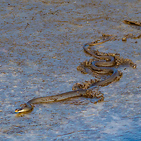 A black snake slithers in the mud, Merritt Island, FL, March 2020.(Photo by Brian Cleary/bcpix.com)