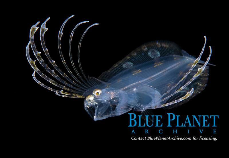 Spotfin Flounder, Cyclopsetta fimbriata, photographed during a Blackwater drift dive in open ocean at 20-40 feet with bottom at 600 plus feet below. Palm Beach, Florida, USA, Atlantic Ocean