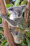 Kuranda, Queensland, Australia; Kuranda Koala Gardens, Koala (Phascolarctos cinereus) with baby in pouch