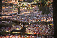 White-tailed deer, Cades Cove
