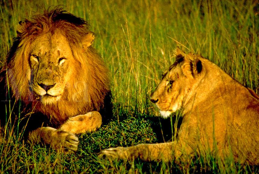 African, wild animal. Male and female lion relax on the Masai Mara, Kenya. Masai Mara, Kenya.
