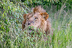 Kenya, Olare Motorogi Conservancy, African lion (Panthera leo)