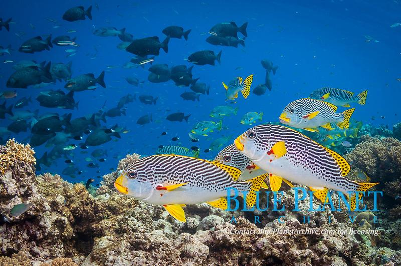 yellow-banded sweetlips or diagonal-banded sweetlips, Plectorhinchus lineatus, Milln Reef, Cairns, Great Barrier Reef, Queensland, Australia, Coral Sea, South Pacific Ocean