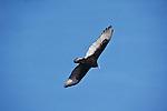 Turkey vulture in flight.