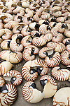 Nautilus shells collected for the decorative market(Nautilus pompilius)