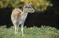 Damhirsch, Dam-Hirsch, Damwild, Jungtier, Dam-Wild, Cervus dama, Dama dama, fallow deer