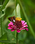 Silver-spotted Skipper Butterfly on a Zinnia Flower. Image taken with a Nikon D5 camera and 200-500 mm f/5.6 lens.