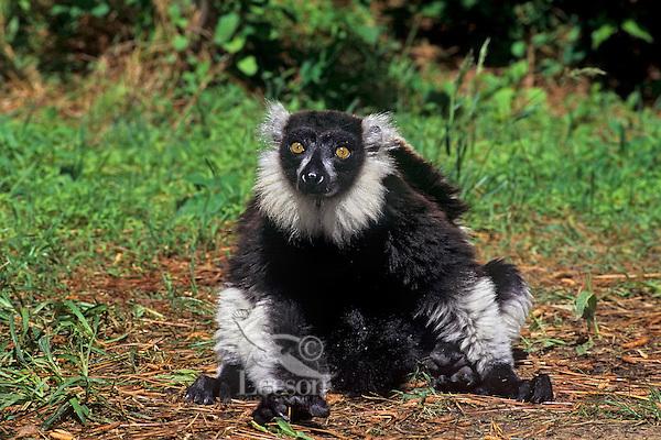 Black and White Ruffed Lemur (Varecia variegata), endangered species.
