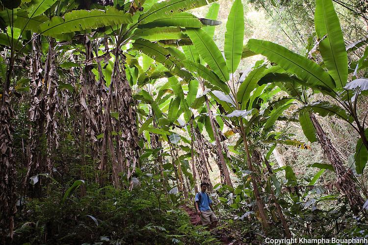 Ken Moritsugu walks amongst banana trees in a forest in Luang Namtha, Laos on Novemeber 11, 2009.   (Photo by Khampha Bouaphanh)