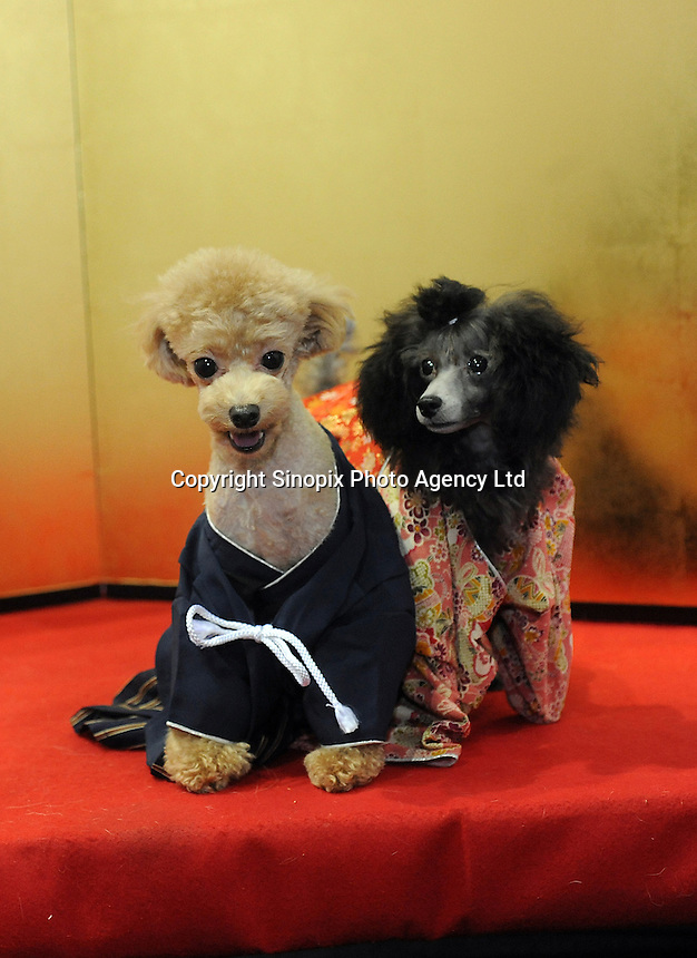 Dogs are dressed in kimonos to have their pictures taken.  .