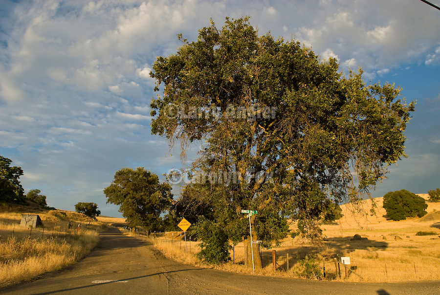 A country road and oaks, passing summer storm and golden hills, Amador County, Calif.
