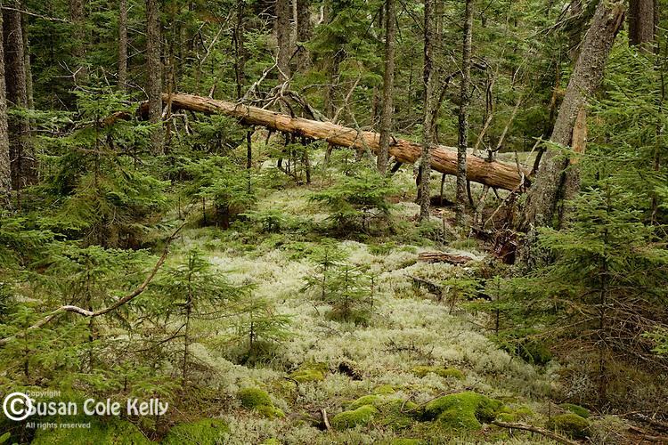 Reindeer moss carpets the Acadian woods, Acadia National Park, ME