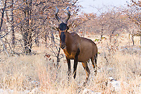 Tsessebe aka Red Hartebeest, Etosha NP, Namibia