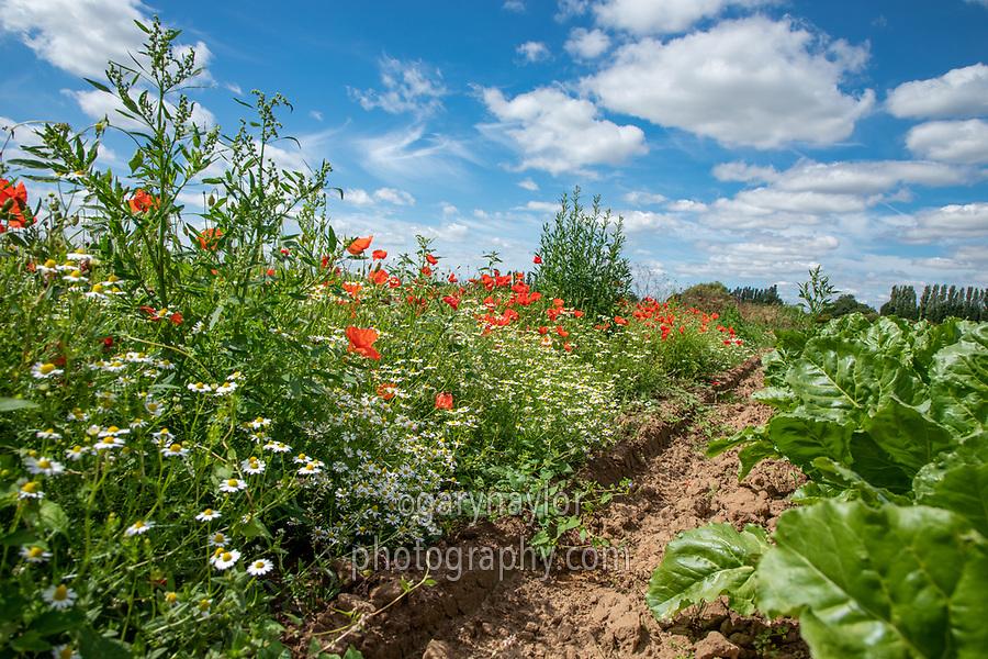 Sugar beet field margin with poppys - Lincolnshire, July
