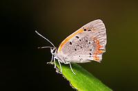 American Copper (Lycaena phlaeas)